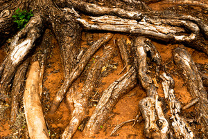 Wood Roots 3 Texture
