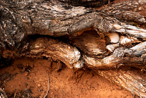 Wood Roots 4 Texture