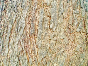 Wood_texture_tree_bark