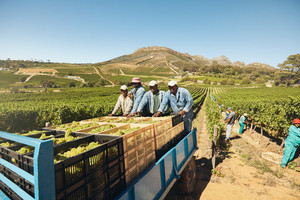 Workers loading boxes of grapes on a tractor trailer after harvesting. Grapes being delivered from the vineyard to wine manufacturer. Transporting grapes from grape farm to  wine factory.