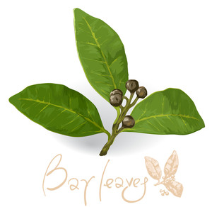 World Spices. Bay Laurel Leaf. Vector.