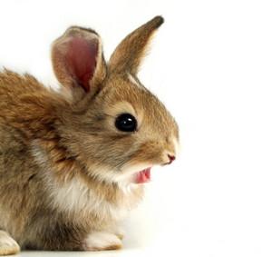Yawning Rabbit