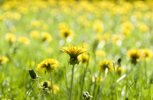 Yellow Dandelions In The Spring