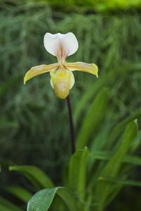 Yellow orchid, Paphiopedilum