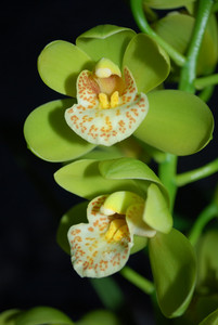Yellow Orchid With Black Background