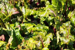 Young beet growing in garden. Close up ov young vegetable