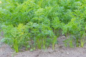 Young carrots growing in ecological garden. Beautiful green garden plants.