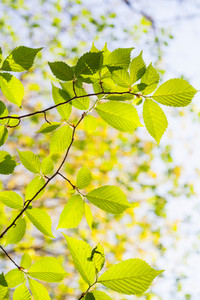 Young green leaves on tree branch at springtime