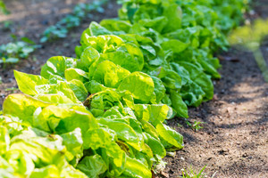 Young lettuce leaves growing in garden. Summer time in garden