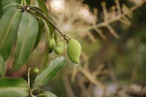 Young Mango