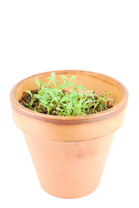 Young Parsley Plant On A Terra Cotta Pot (white Background)
