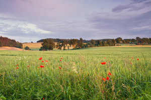 Young rye field with red poppies. landscape