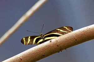 Zebra Longwing Butterfly On Twig