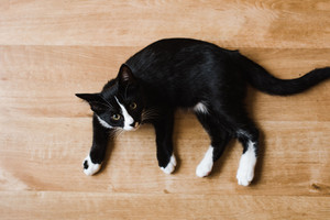 Cat laying on wooden floor