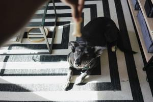 small black dog looking at treat