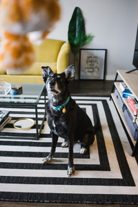 small black dog wearing a blue collar sitting on a black and white rug looking up