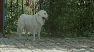 Big white dog breathe heavily in the garden