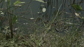 Moving grass snake, natrix on pond with duckweed