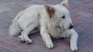 White street dog barking lying on a pavement