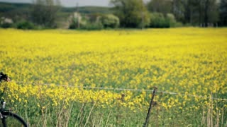 Portrait of young, happy man on bike in the middle on the rape flower