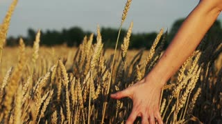 Young woman touching wheat in field