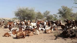 A herd of cattle walking away at field in Jodhpur.