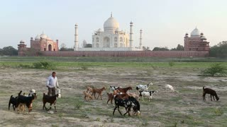 AGRA, INDIA - 26 FEBRUARY 2015: Man implying cattle at field, with Taj Mahal in background.