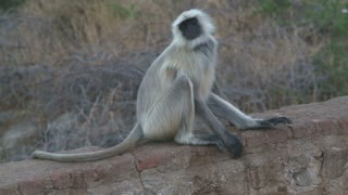 Ape sitting and scratching his body on a wall in Jodhpur.