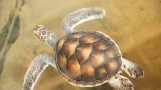 Baby turtles swimming in pool at Kosgoda Lagoon Turtle hatchery
