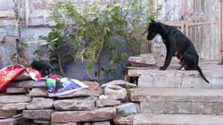 Big dog with his��puppies��climbing on stones on the streets of Jodhpur.