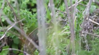 Black chameleon walking slowly through long grass
