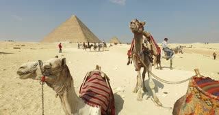 CAIRO, EGYPT - FEBRUARY 04, 2016: Camels for rent in front of the Great Pyramid of Giza.