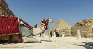 Camels for rent in front of pyramids of Giza.