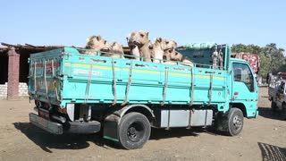 Camels loaded on the back of the truck at Camel market.