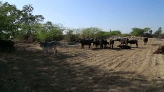Cattle pasturing at a large field by the road in Jodhpur.