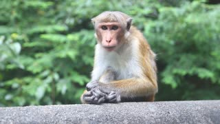 Close up view of a monkey near the Golden Temple of Dambulla. The Golden Temple of Dambulla is a World Heritage Site in Sri Lanka.