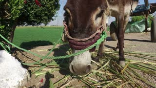 closeup of donkey eating sugar cane leaves alongside road in Luxor