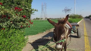 closeup of donkey with cart alongside road in Valley of Kings, Egypt.