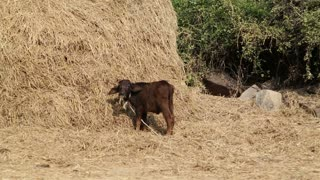 Cow standing alone and eating hay.