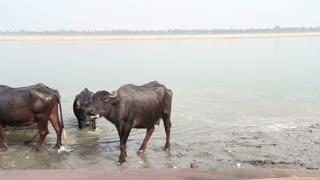 Cows at shore of Ganges river in Varanasi.