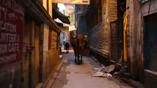 Cows walking down the narrow street in Varanasi.