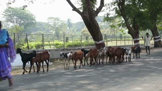 Cows walking in a line on the road in Hampi.
