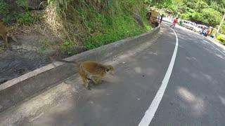 Curious monkeys jumping over the road in Ella, Sri Lanka