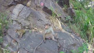 Cute curious monkeys playing on the rock in Ella, Sri Lanka