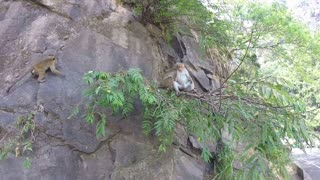 Cute monkeys climbing on the rock in Ella, Sri Lanka