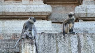 Cute monkeys sitting in front of temple in indian village hampi.