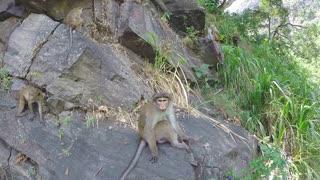 Cute monkeys sitting on the rock in Ella, Sri Lanka