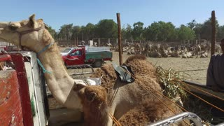 DARAW, EGYPT - FEBRUARY 6, 2016: Camel on the back of truck on Camel Market in Daraw, Egypt.