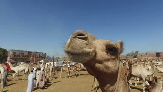 DARAW, EGYPT - FEBRUARY 6, 2016: closeup of camel and local camel salesmen on Camel market