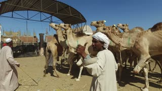 DARAW, EGYPT - FEBRUARY 6, 2016: closeup of local camel salesmen on Camel market using stick to control them.